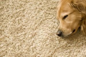 Tier und Teppich passen nur bedingt zusammen